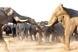 gajah-tawur
